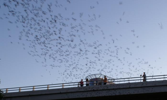 Bats from the Waugh bat colony flying over the bridge in Houston