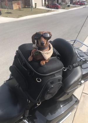 A dachshund dog wearing goggles and a biker vest poses for a photo on the back of a Harley Davidson motorcycle, ready for a ride on River Road in New Braunfels!