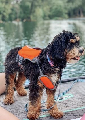 A small, curly-haired dog in a life jacket stands on a paddleboard in the river in New Braunfels.