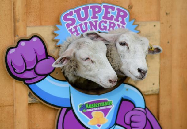 Sheep at Kustermans