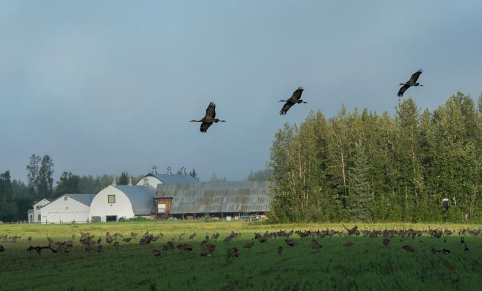 Sandhill Cranes in flight over field of birds with barn buildings in background