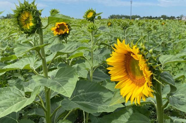 Jacquemin Farms Sunflower Field