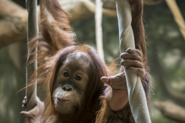 Our baby orangutan Asmara is growing up fast