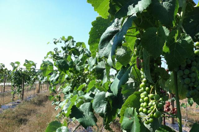 grapes-web.jpg