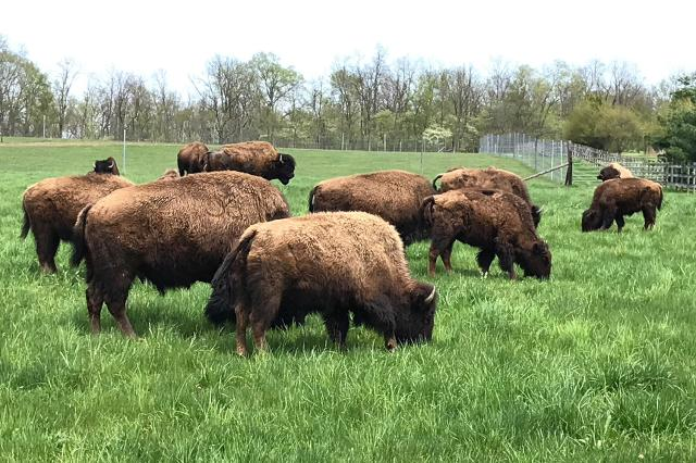 Bison at LC Nature Park