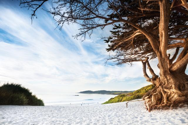 Carmel Beach Cypress Tree