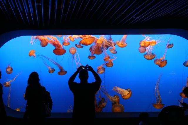 Jellyfish Monterey Bay Aquarium