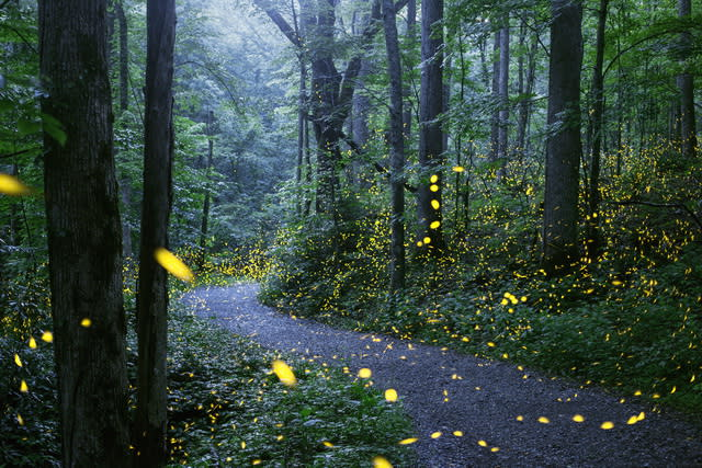firefly_138764_path_synchronous_fireflies