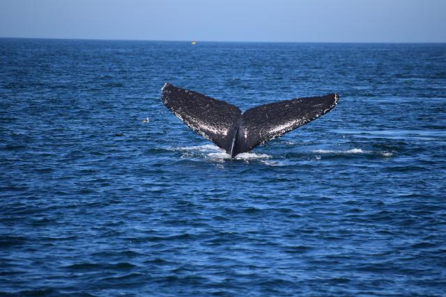 Whale Tail on Monterey Bay