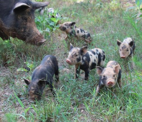 mother pig looking at her spotted piglets as they run around