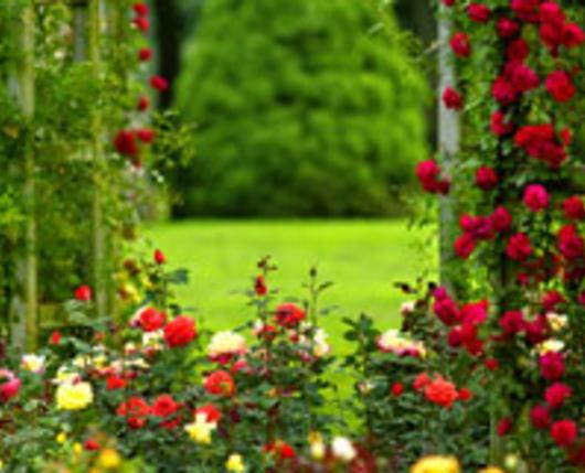 Malcom Gross Rose Garden Overview