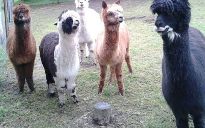 Stoney Acres Alpacas