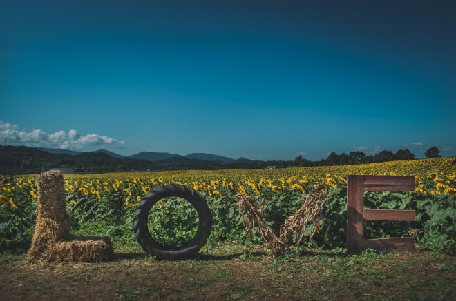 Sunflower Festival - Virginia LOVE Letters