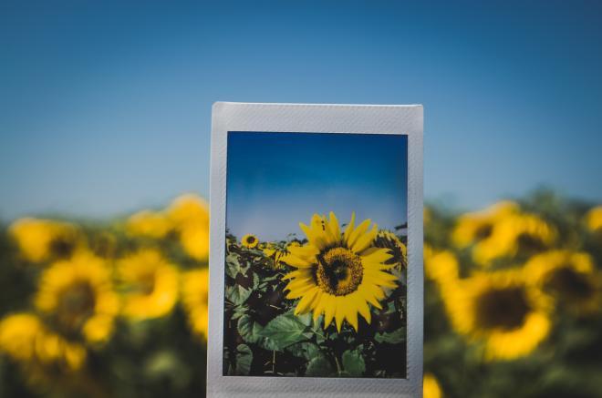 Sunflower Festival - Beaver Dam Farm, Botetourt County