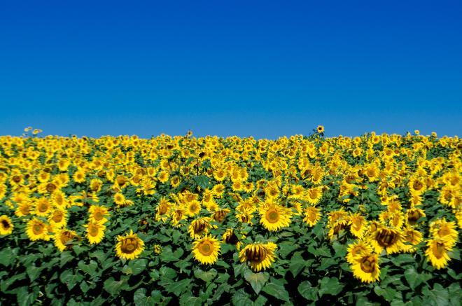 Sunflowers - Beaver Dam Farm Sunflower Festival, Virginia