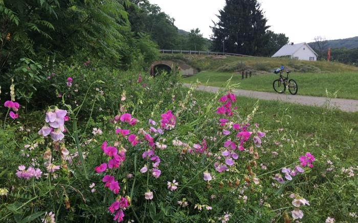 Wildflowers along the Great Allegheny Passage near Garrett, Pa., Somerset County