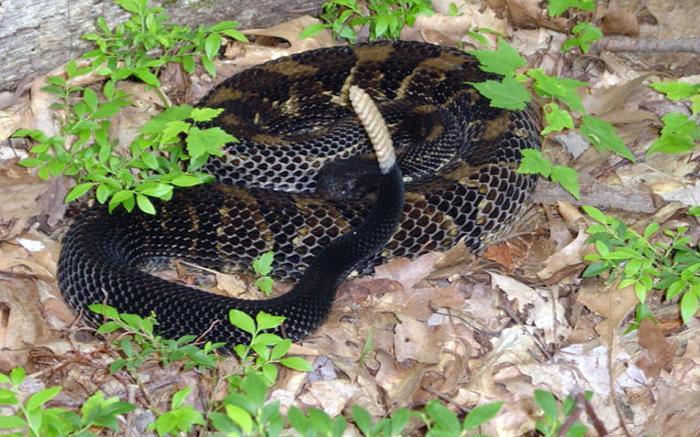 Venomous Snakes of Pennsylvania