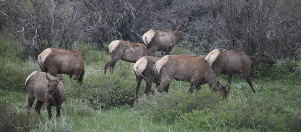 Elk grazing in Steamboat Springs
