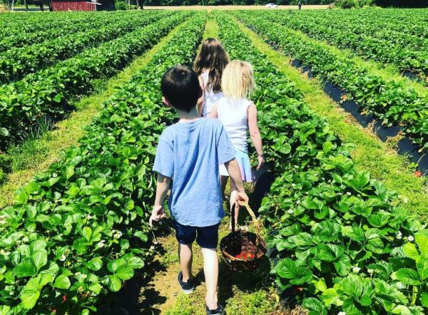 Henley Farm Strawberry Picking