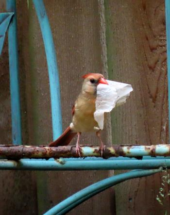 Cardinal with Tissue