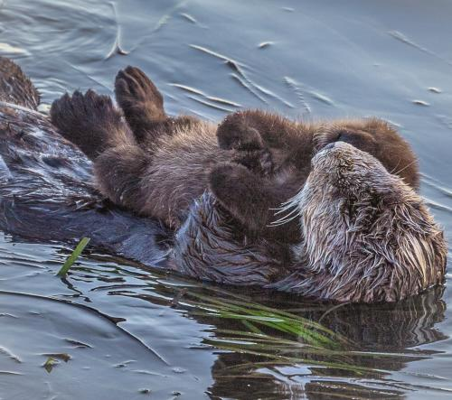 Otter - Mother and pup