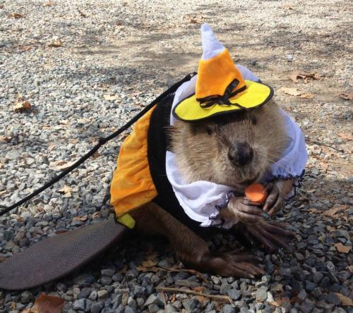 Beavers love trick-or-treats at the Orange County Zoo's Halloween Zoo-tacular,