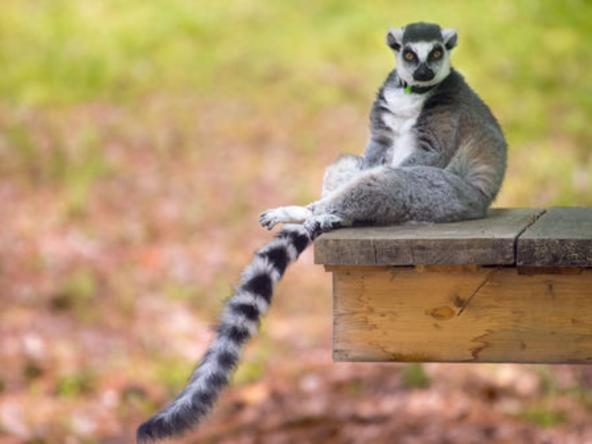 Explore the Wild - Lemurs