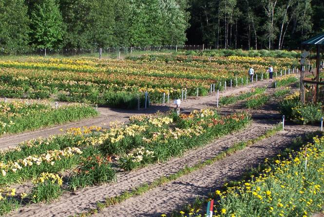 Lily Farm
