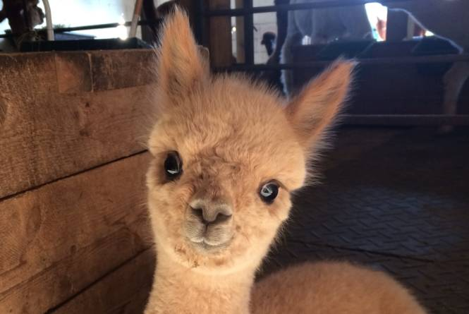 Crystal Lake Alpaca Farm & Boutique