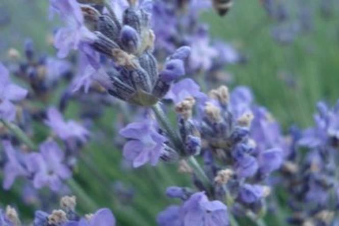 Leelanau Lavender