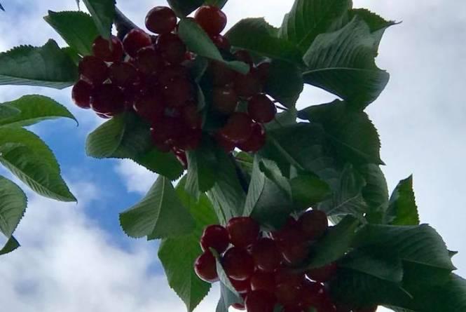 Cherry Connection/Edmondson Orchards