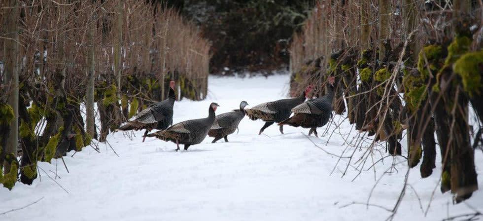 Turkeys at Benton-Lane Winery