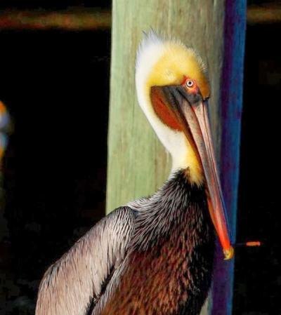Pelican by John Flores