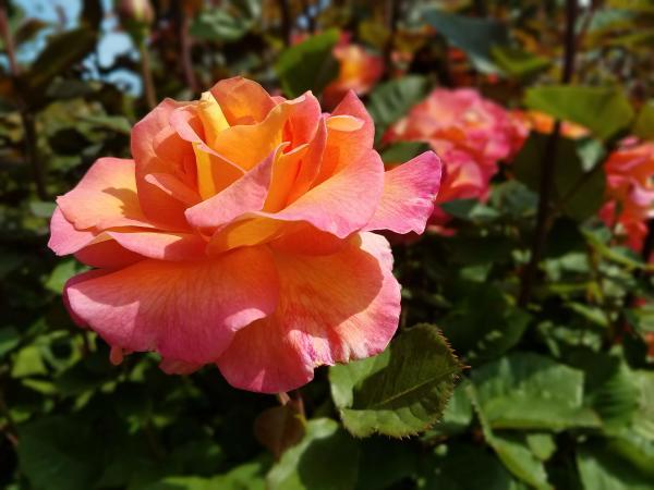 Point Defiance Park Rose Garden