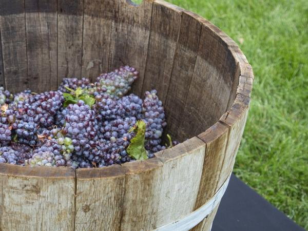 Grape Stomp 2020, A New Take on an Old Tradition