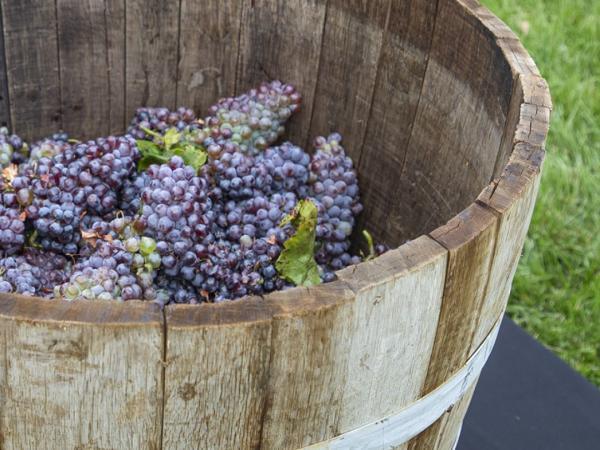 20th Anniversary Grape Stomp Celebration!