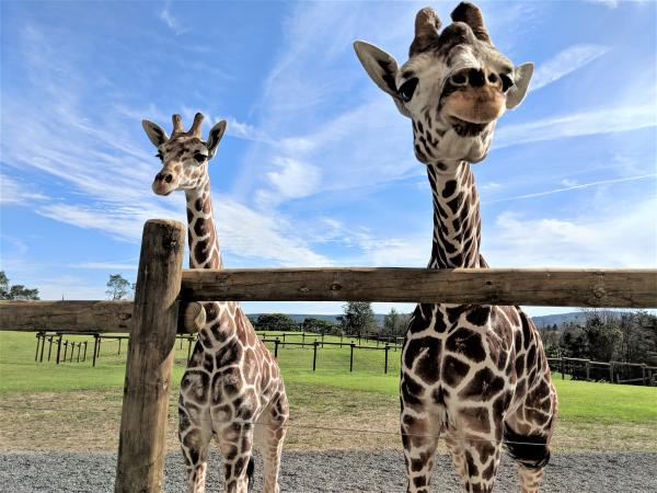 Giraffes at Lake Tobias