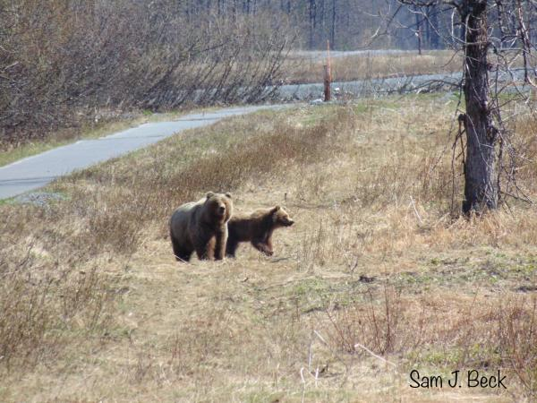 a bear and cub stand next to a bike path