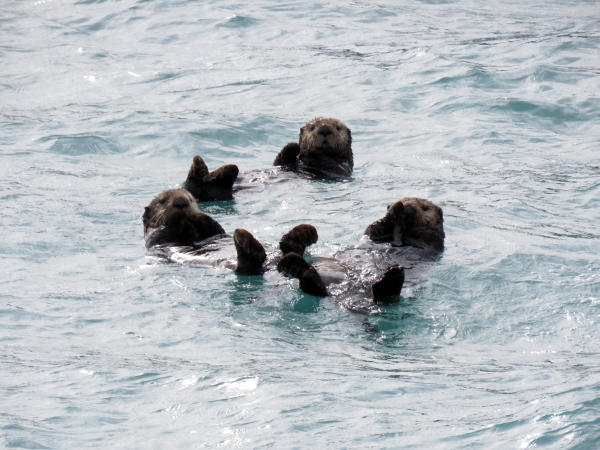 three sea otters floating together