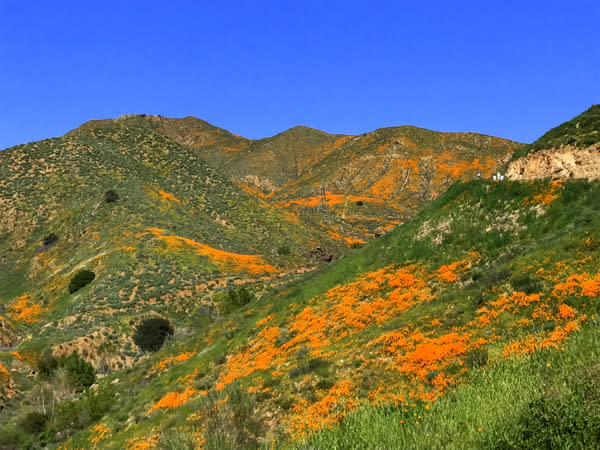 Poppies blanket the hills in southern California
