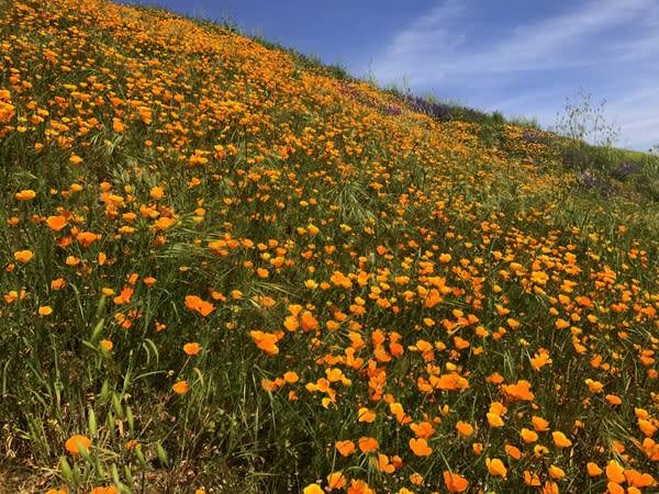 A hillside of poppies in southern California