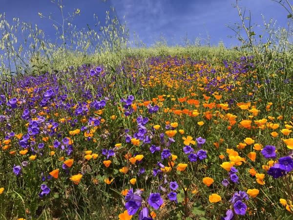 Wildflowers bloom in southern California