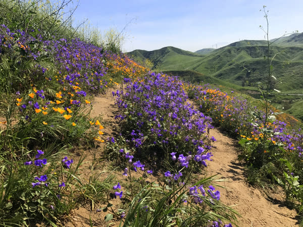 Wildflowers in the hills of southern California