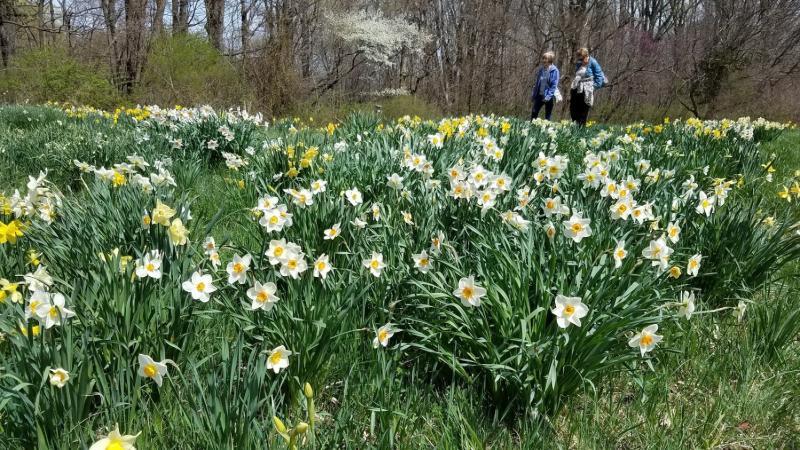 Daffodil Gardens Stroll