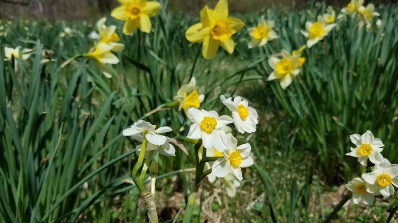 Daffodils come in several colors... and multiple sizes!