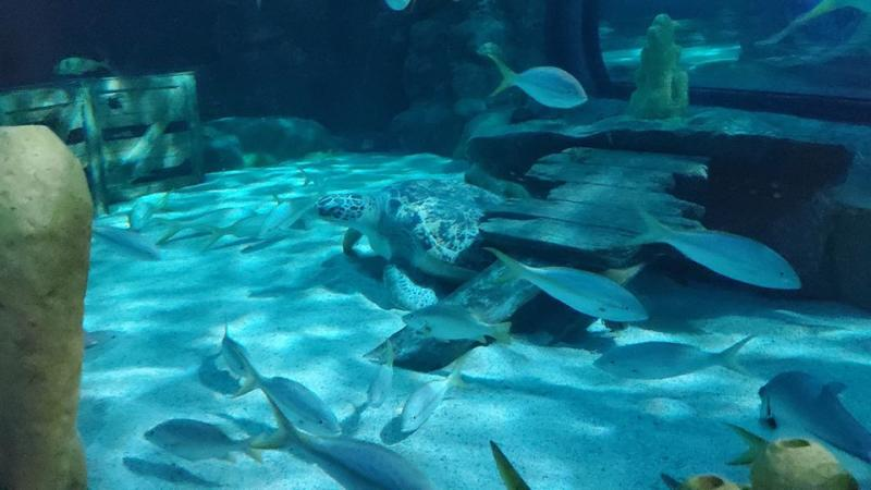 Gabby the sea turtle at Ripley's Aquarium, Myrtle Beach, SC