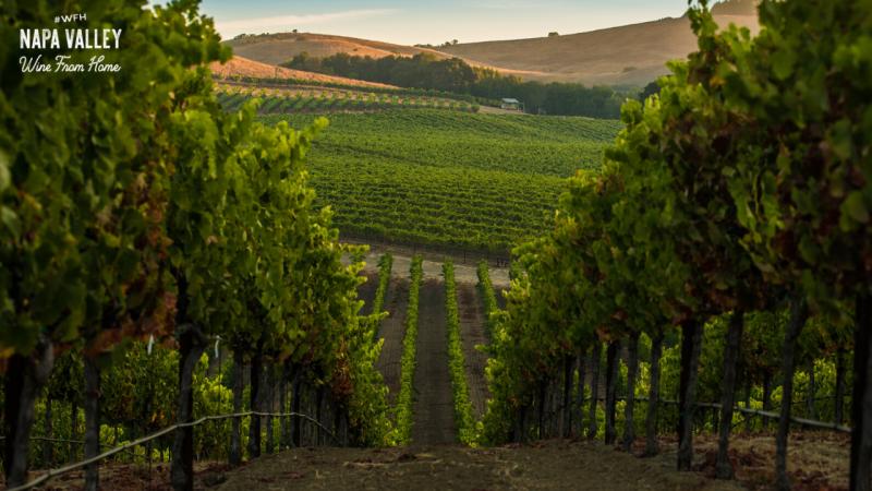 Vineyard Rows Zoom Background