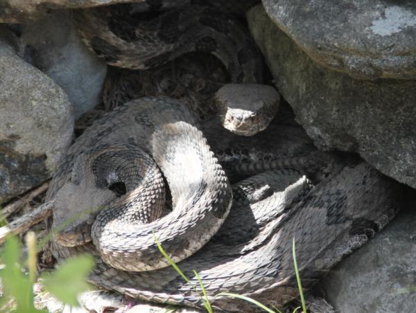 Kansas Timber Rattle Snake 3
