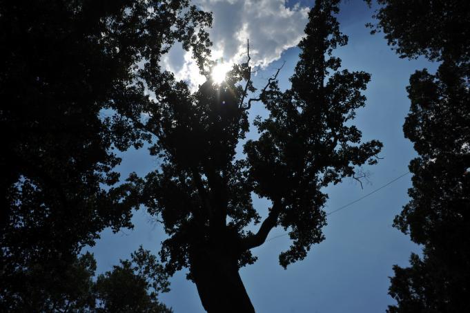David Poplar tree UNC campus Chapel Hill