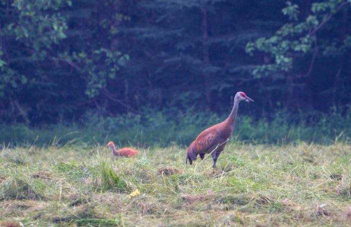 Sandhill crane and colt in a grassy field